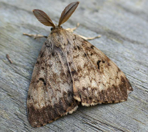 Gypsy Moth in Connecticut