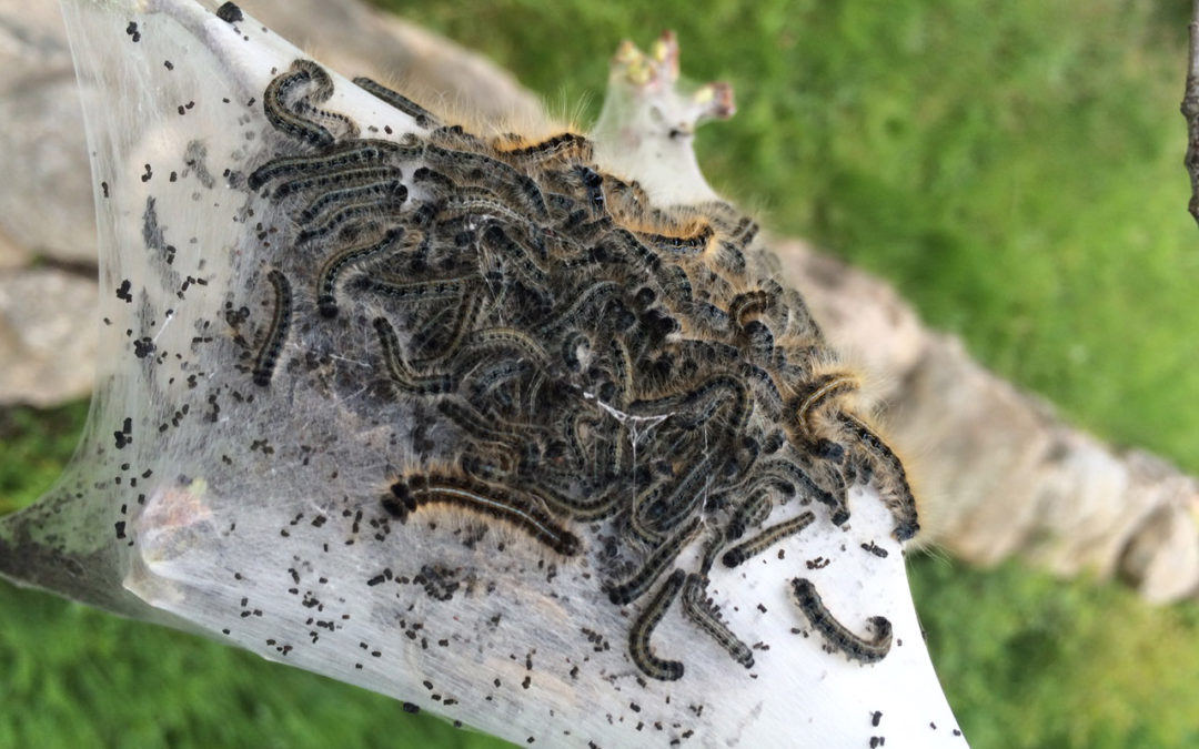 Eastern Tent Caterpillar Control: Is it Really an Issue in Connecticut?